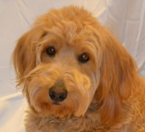 Therapy-dog-bianca-Forensic-counseling-and-evaluations